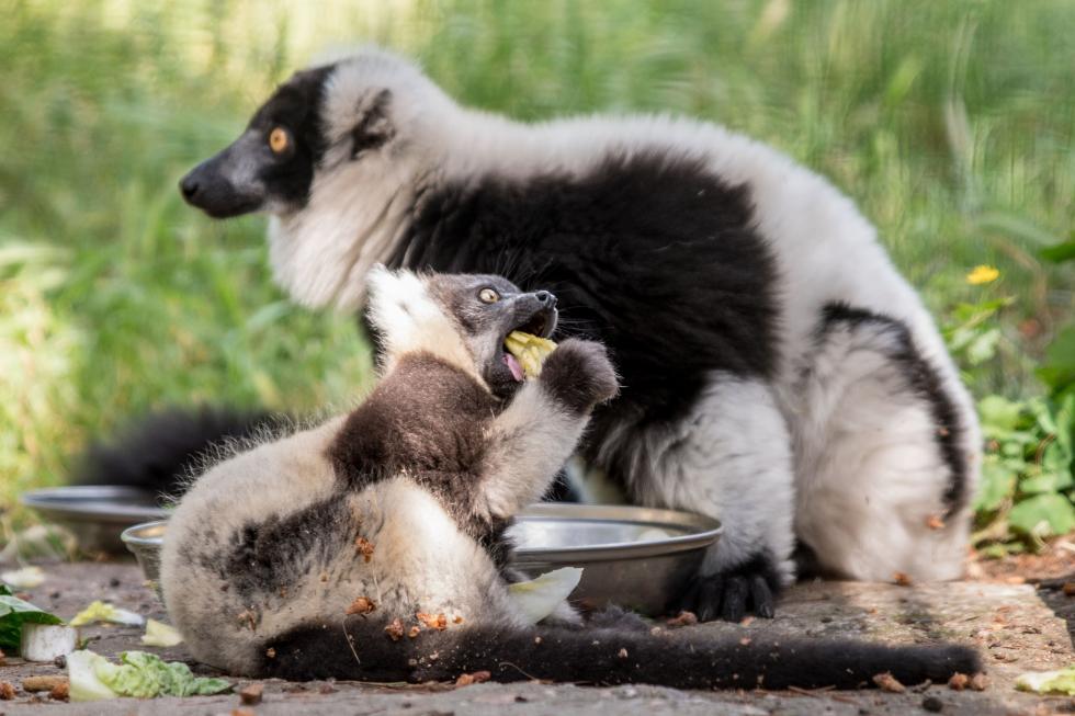 Pełne nadziei narodziny wewrocławskim zoo - lemury – ginące gatunki